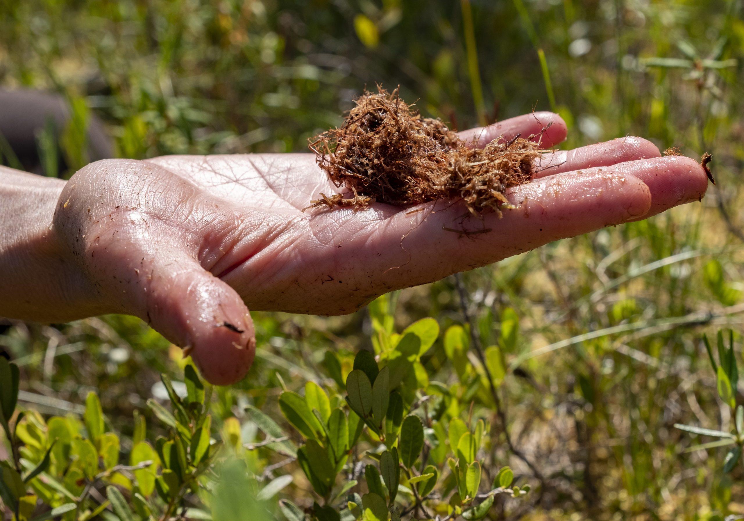 İnsanlar neden Saskatchewan'ın misketini hasat etme planına karşı çıkıyorlar?